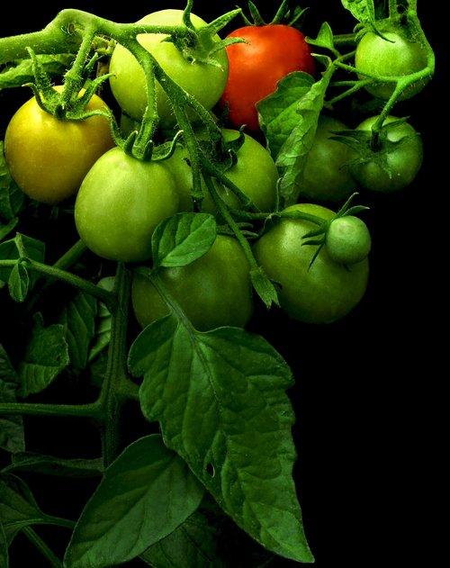 tomato  maturing  green tomato