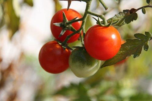 tomato  tomatoes  own tomatoes