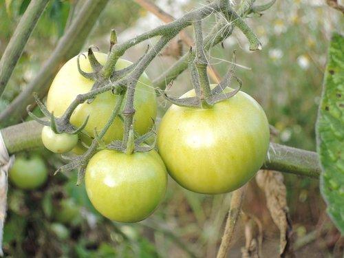 tomato  food  tomatoes