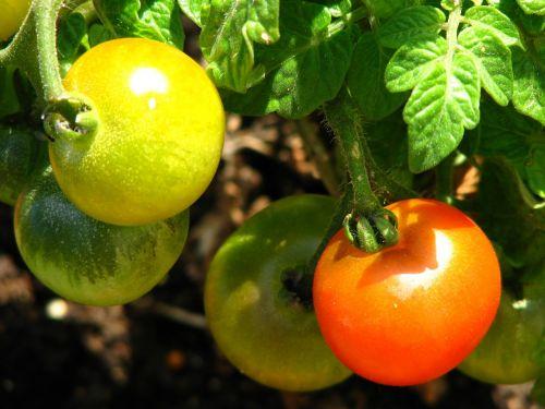 tomato immature ripe