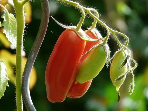 tomato bush tomato vegetables
