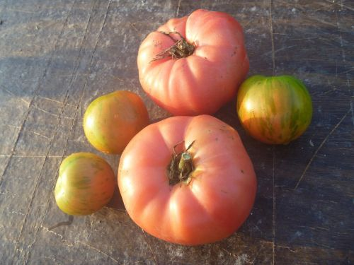 tomato brandywine tomatoes