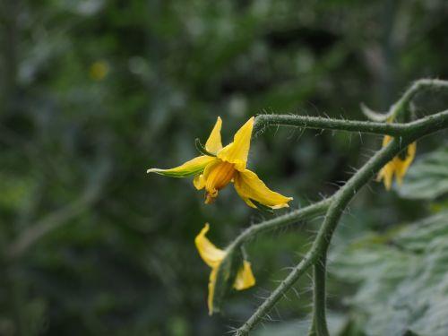 tomato flower blossom bloom