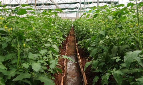 tomato plants hothouse greenhouse