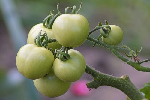 tomatoes green immature