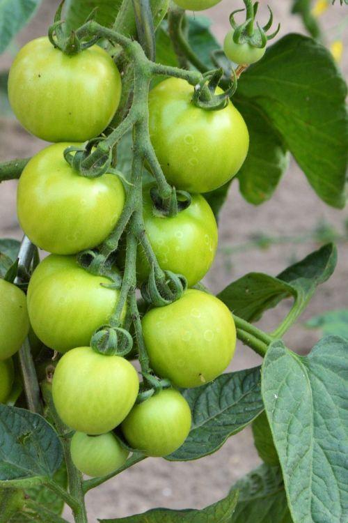 tomatoes panicle green