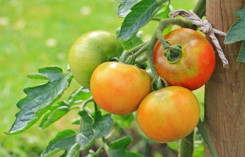 tomatoes vegetables nachtschattengewächs