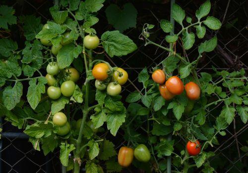 pomidorai,krūmų pomidorai,sodas,daržovių auginimas,nachtschattengewächs,Namai ir sodas,brandos lygis,pomidorų krūmas,daržovių sodas,veisimas,tomatenrispe,nesubrendusio,brendimas,pomidorų veisimas