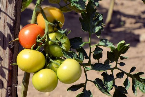 tomatoes immature vegetables