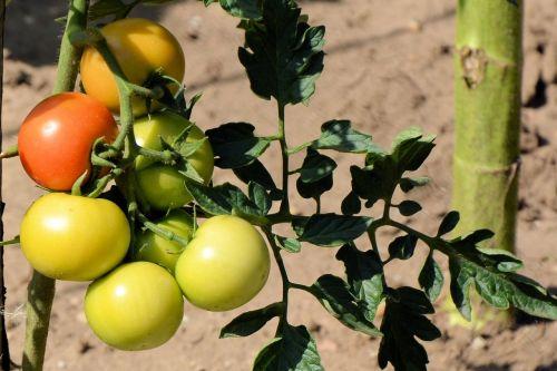 pomidorai,pomidorų krūmas,nachtschattengewächs,sodas,krūmų pomidorai,žalias,daržovės,panicle