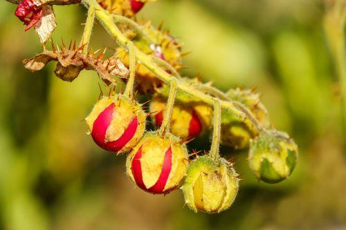 tomatoes litchi tomato fruit