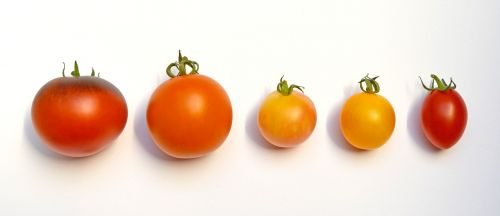 tomatoes tomatoes locations tomato species