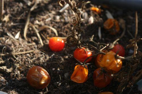 tomatoes cereja terra
