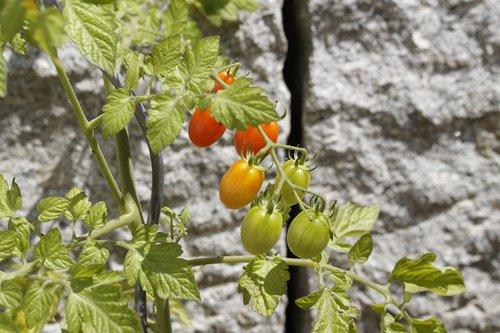 tomatoes  garden  gardeners