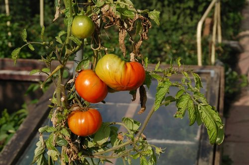 tomatoes  allotment  growth