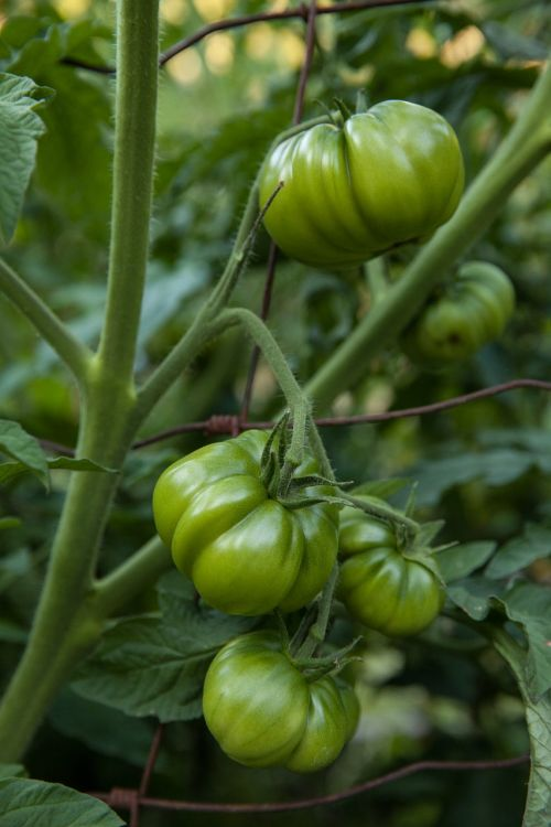 tomatoes vegetable healthy
