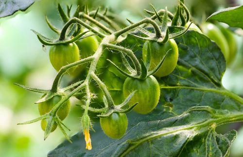 tomatoes vegetables macro