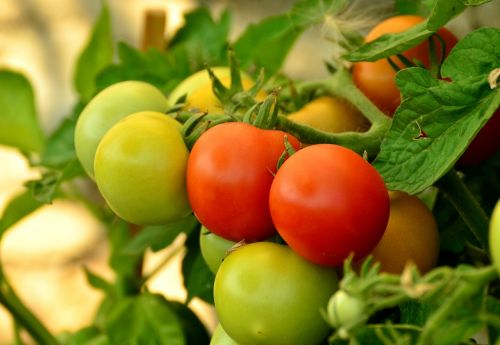 tomatoes ripe immature