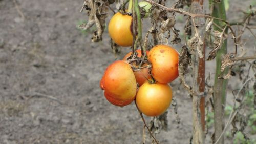 tomatoes plant crop failure