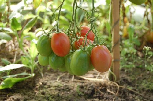tomatoes vegetables tomato