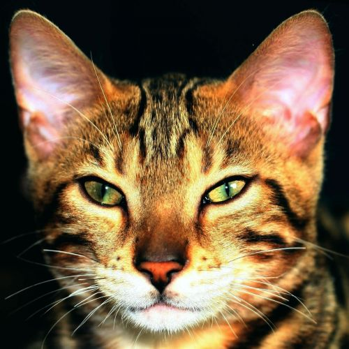 tomcat cat bengal