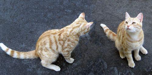 tomcat cat cats