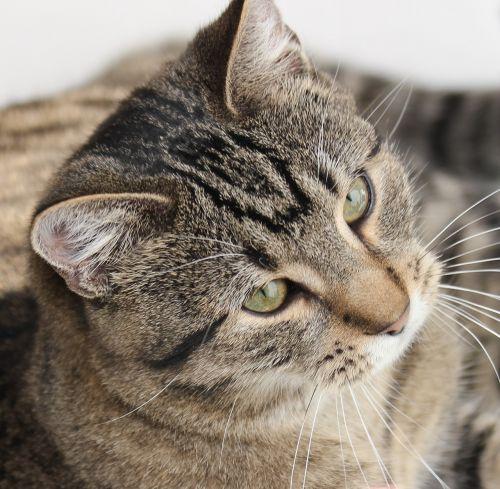tomcat crampon cat