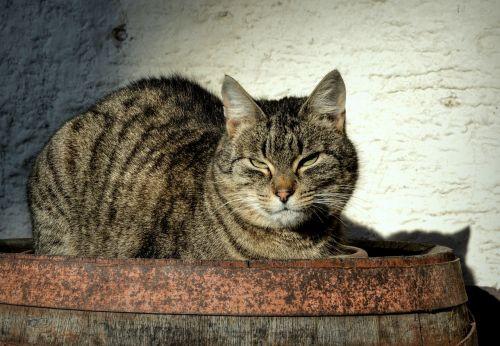 tomcat cat animal