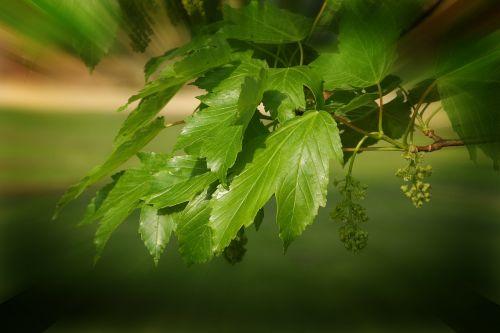 tone in tone green leaf rays