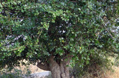 toothbrush tree sandpaper tree streblus asper