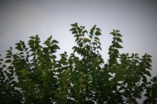 Top Of Mulberry Tree