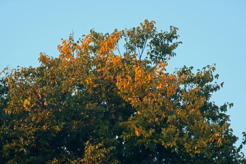 Top Of Tree With Yellow Leaves