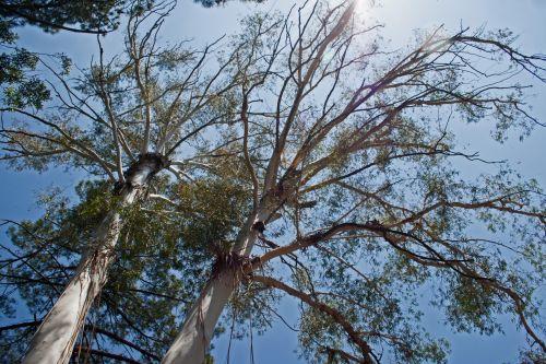 Tops Of Eucalyptus Trees