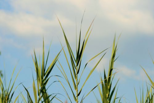 Tops Of Reeds Growing In The Veld