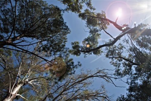 Tops Of Trees With Lens Flare
