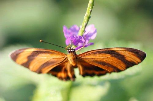 torch  edelfalter  butterfly