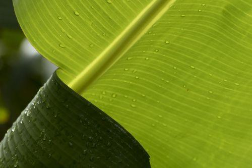 torn leaf banana