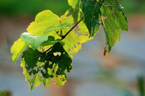 Torn Leaves On The Vine
