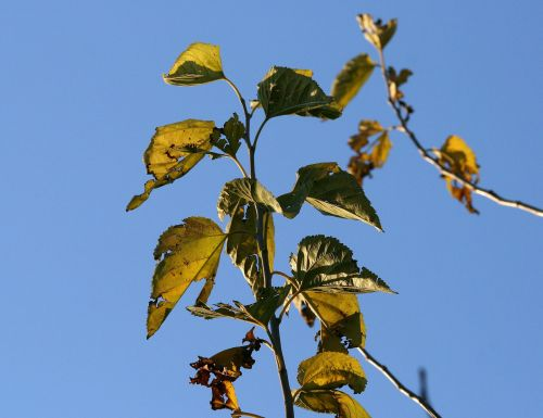 Torn Mulberry Leaves