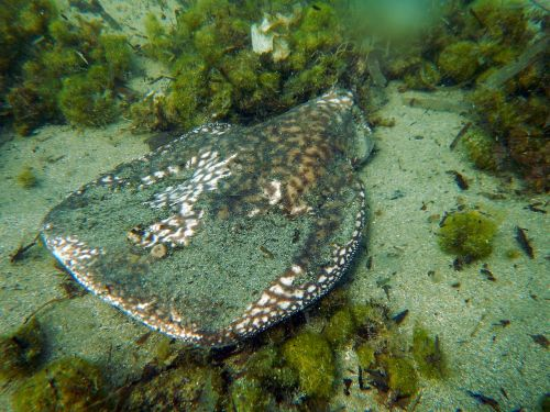 torpedo marmarota marbled electric ray stingray
