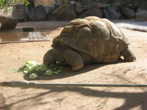 tortoise zoo giant tortoise