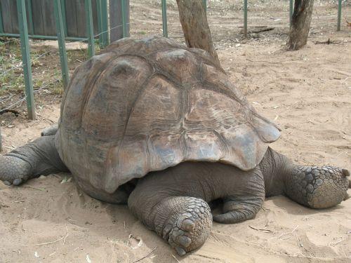 tortoise giant tortoise shell