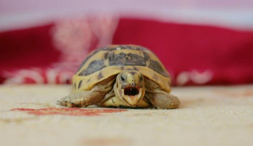 tortoise puppies this