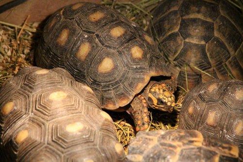 tortoise  coal turtle  red-legged tortoise
