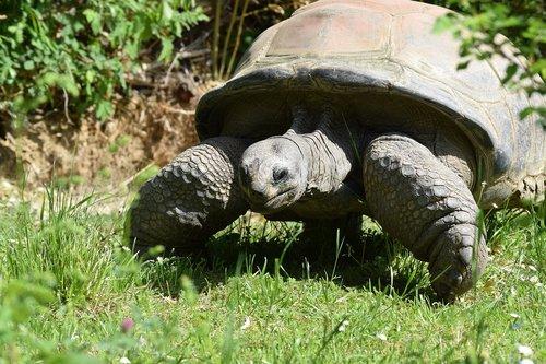 tortoise  turtle  armored