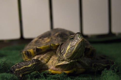 tortoise  red-eared slider turtle  reptiles