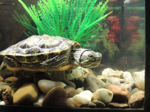 tortoise amphibians red-eared slider turtle
