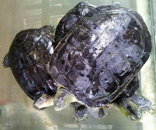 Tortoise Striving For Breath