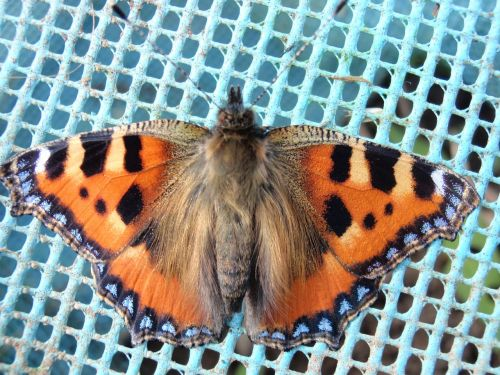 tortoiseshell butterfly macro