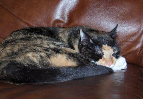 tortoiseshell cat sleeping chair